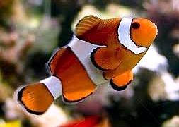 Клоун, анемоновая рыбка (Amphiprion ocellaris)