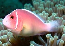 Клоун розовый (Amphiprion perideraion)