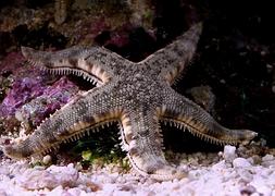 Морская звезда обычная песочная (Archaster typicus)