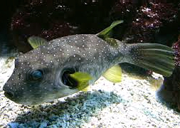 Иглобрюх белопятнистый (Arothron hispidus)