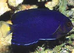 Ангел голубой королевский, пигмей (Centropyge flavicauda)