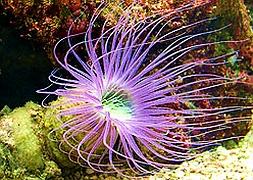 Цериантус, трубчатый анемон (Cerianthus Membranaceus, Purple Tube Anemone)