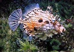 Спинорог тряпичный (Chaetodermis pencilligerus)