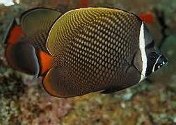 Бабочка краснохвостая (Chaetodon collare)