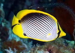 Черноспинная рыба-бабочка (Chaetodon melannotus)