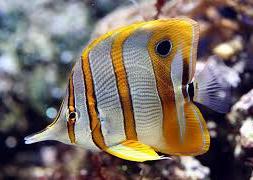Бабочка длинная, бабочка-пинцет (Chelmon rostratus)