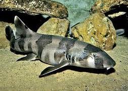 Акула кошачья коричневополосая (Chiloscyllium punctatum)
