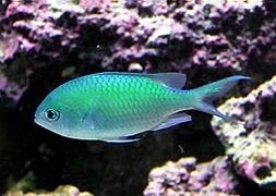 Хромис зеленый (Chromis viridis)