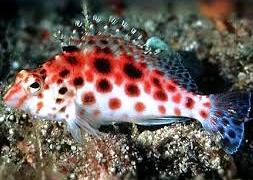 Кудрепер краснопятнистый (Cirrhitichthys oxycephalus)