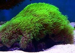 Клавулярия, полип звездный зеленый (Clavularia viridis, Green Star Polyp)