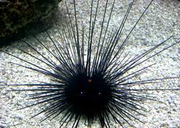 Морской еж диадемовый длинноиглый (Diadema savignyi)