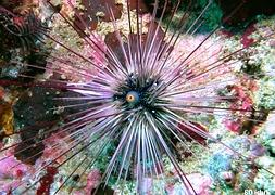Морской еж белоиглый (Diadema urchin white)