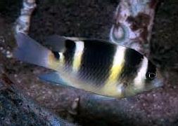 Дамзел полосатый (Dischistodus fasciatus)