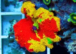 Гриб цветной (Discosoma sp., Colour Mushroom)
