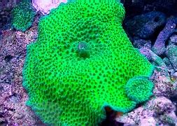 Гриб гигантский зеленый (Discosoma sp.,Green Giant Mushroom)