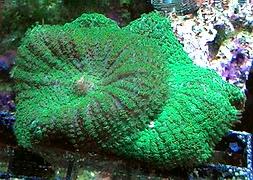 Гриб зеленый (Discosoma sp., Green Mushroom)