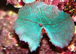 Гриб зеленополосый (Discosoma sp., Green Striped Mushroom)