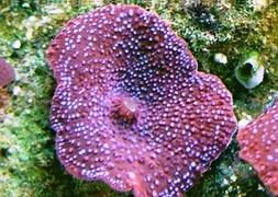 Гриб точечный (Discosoma sp., Spotted Mushroom)