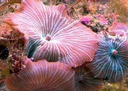 Гриб гигантский полосатый (Discosoma sp., Stripe Giant Mushroom)