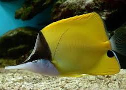 Бабочка-пинцет желтая (Forcipiger flavissimus)