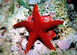 Морская звезда красная (Fromia milleporella)