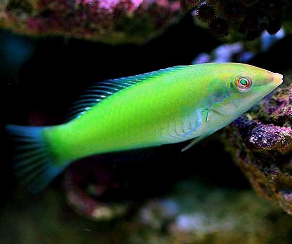Тамарин зелёный (Halichoeres chloropterus)