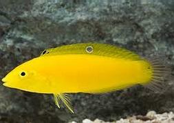 Губан золотой (Halichoeres chrysus)