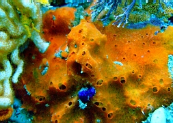 Губка оранжевая (Haliclona sp., Orange Jagger Sponge)