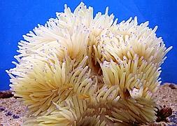 Актиния гетерактис криспа (Heteractis Crispa)