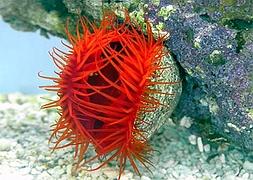 Лимария красная огненная (Limaria sp., Red Flame Scallop)