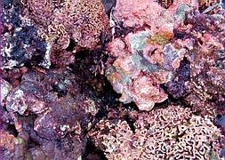Живые камни, Индонезия (размер M)