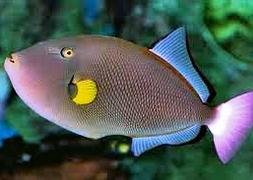 Спинорог розовохвостый (Melichthys vidua)