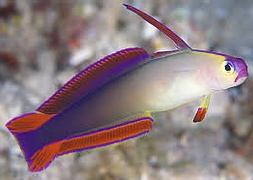 Бычок огненный фиолетовый (Nemateleotris decora)