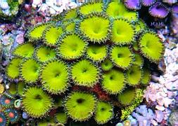 Палитоя зеленая (Palythoa sp., Green Button)