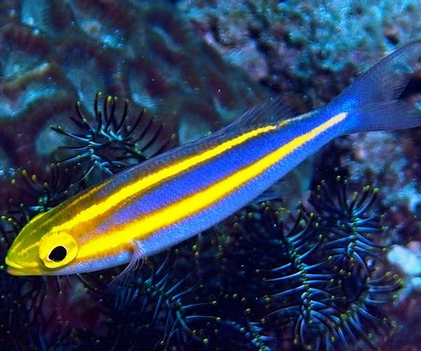 Пентаподус синий желтополосый (Pentapodus sp.)