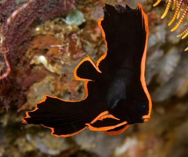 Платакс-нетопырь (Platax pinnatus)