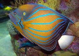 Ангел королевский синий (Pomacanthus annularis)