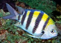 pomacentridae2