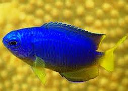 Помацентрус синий желтобрюхий (Pomacentrus coelestis)