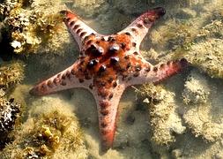 Морская звезда шоколадная рогатая (Protoreaster nodosus)