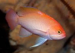 Антиас розовый (Pseudanthias hypselosoma)