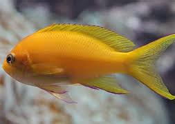 Антиас желтый (Pseudanthias pleurotaenia)