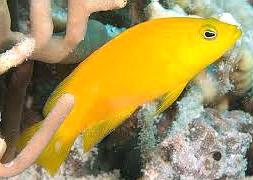 Ложнохромис золотой (Pseudochromis fuscus)