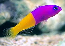 Ложнохромис королевский (Pseudochromis paccagnellae)