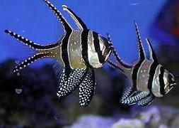 Апогон тюлевый (Pterapogon kauderni)