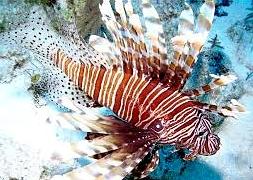 Крылатка полосатая коричневая (Pterois miles)