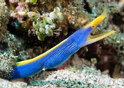 Риномурена синяя (Rhinomuraena quaesita)