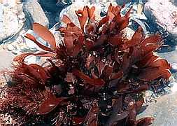 Родимения (Rhodymenia sp., Red Algae Plant)