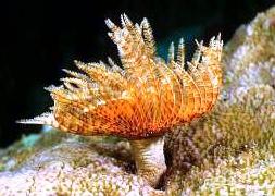 Трубчатый перистый червь (Sabellastarte indica)