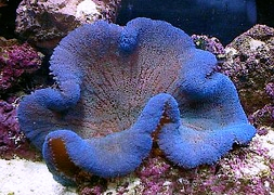 Актиния ковровая синяя (Stichodactyla Haddoni sp., Blue Carpet Anemone)
